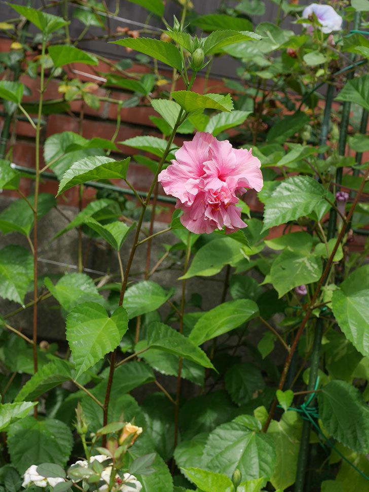 ハンブルグレッドの花が咲いた。2020年-008.jpg