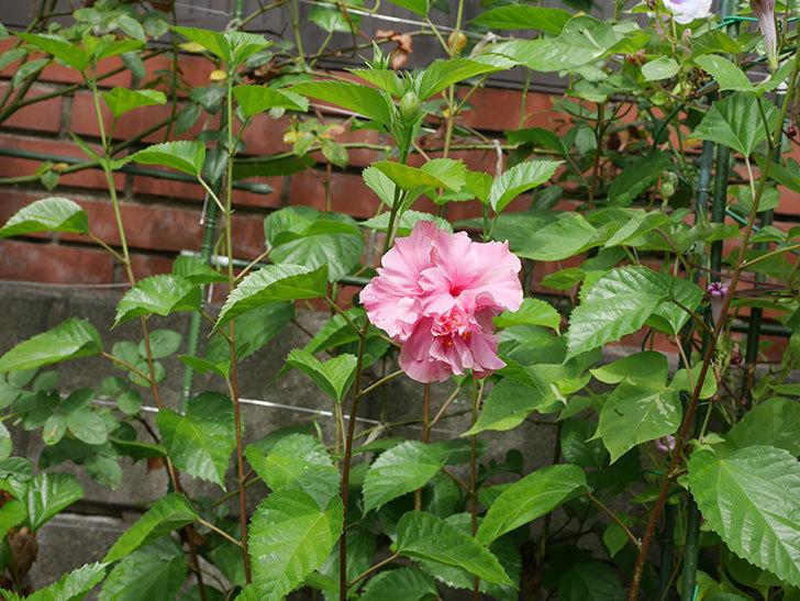 ハンブルグレッドの花が咲いた。2020年-009.jpg