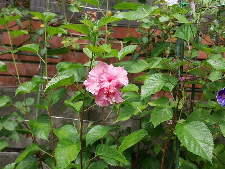 ハンブルグレッドの花が咲いた。2020年-010.jpg
