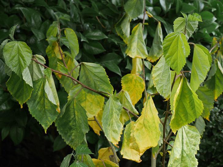 ハンブルグレッドの葉が黄色くなって枯れそう。2018年-2.jpg