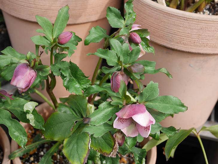 バイカラーのオリエンタリス-紫のシングルの花が咲いた。2020年-7.jpg