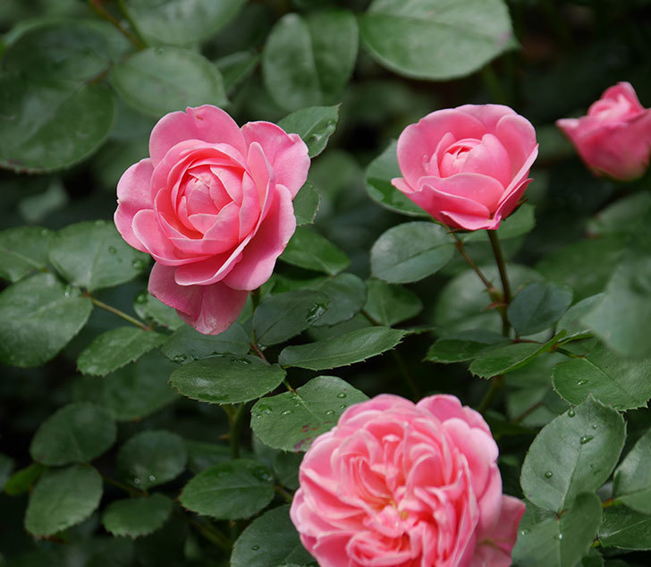 バイランド(木立バラ)が咲いた。2019年-1.jpg