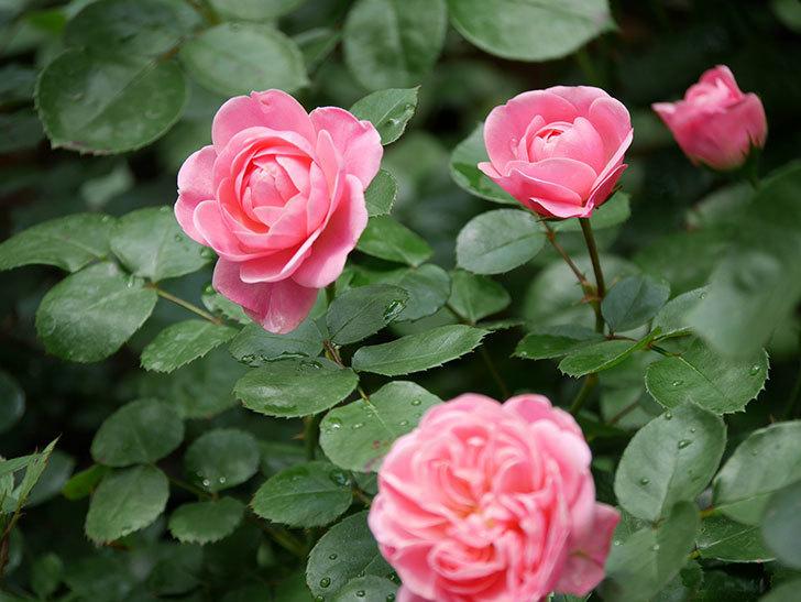 バイランド(木立バラ)が咲いた。2019年-3.jpg
