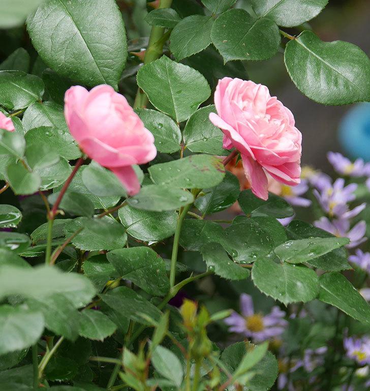 バイランド(木立バラ)が咲いた。2019年-4.jpg