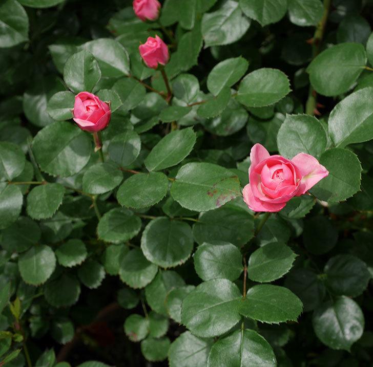 バイランド(木立バラ)が少し咲いた。2019年-4.jpg