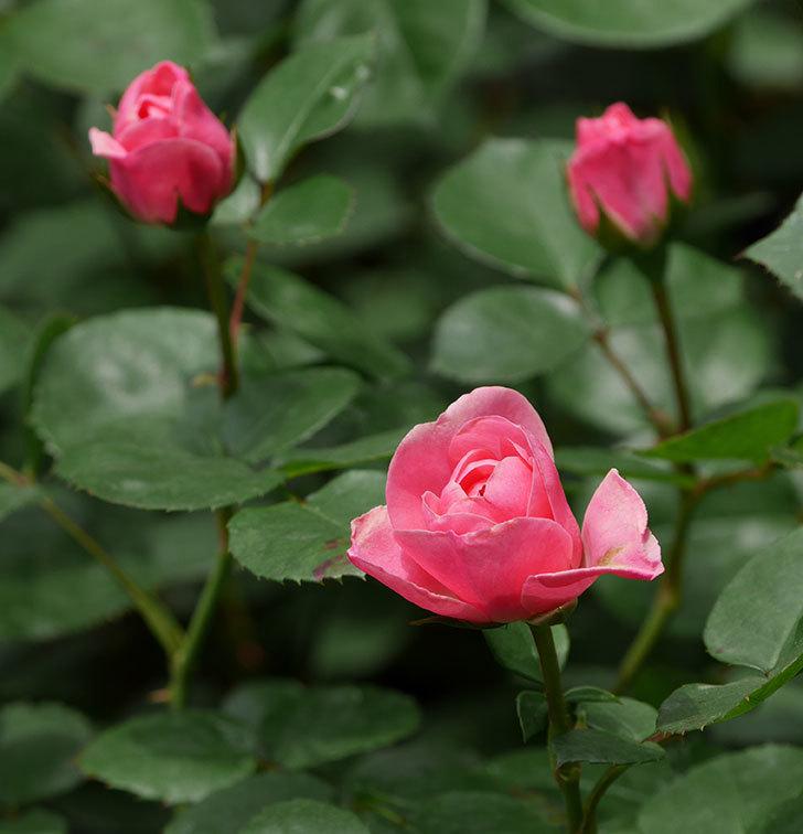 バイランド(木立バラ)が少し咲いた。2019年-6.jpg