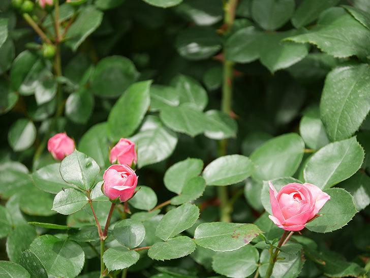 バイランド(木立バラ)が少し咲いた。2019年-7.jpg