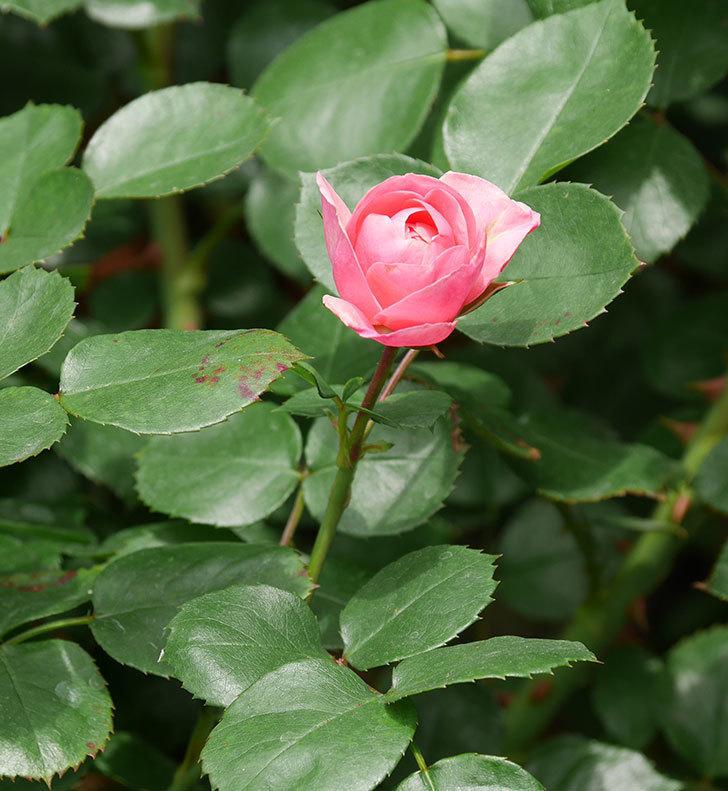 バイランド(木立バラ)が少し咲いた。2019年-8.jpg