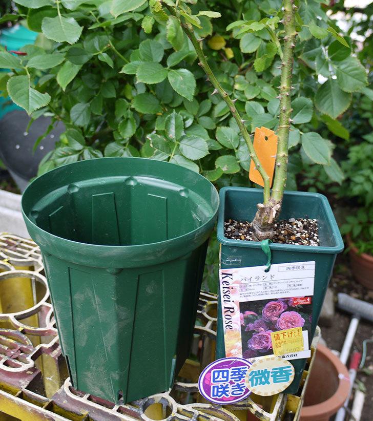 バイランド(木立バラ)の新苗を6号ロングスリット鉢に植えた。2016年-1.jpg