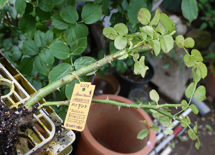 バイランド(木立バラ)の新苗を6号ロングスリット鉢に植えた。2016年-2.jpg