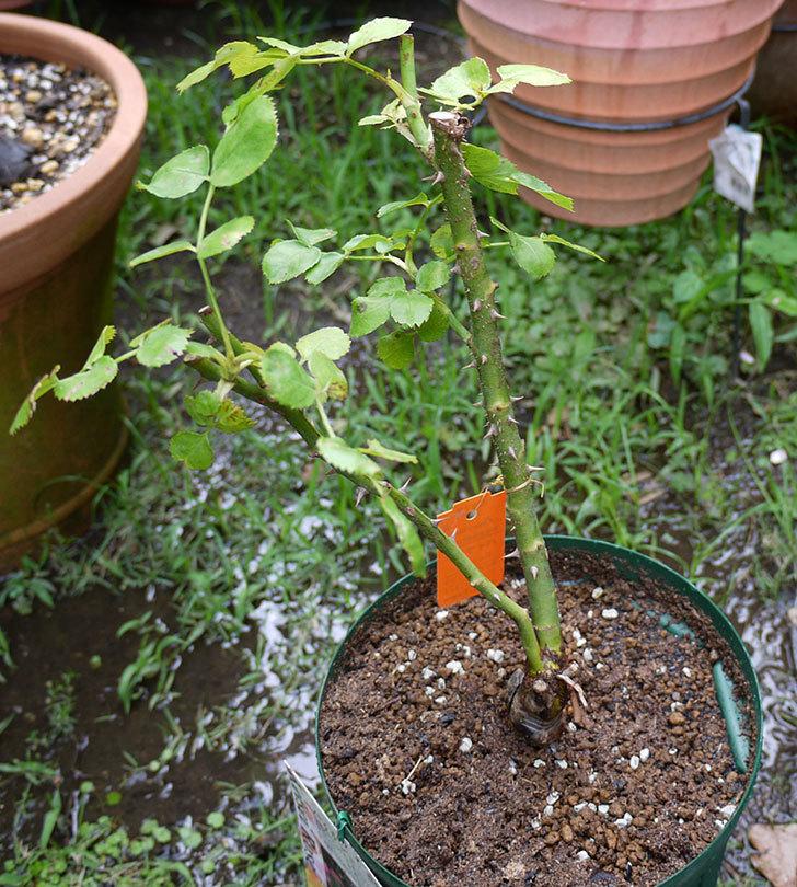 バイランド(木立バラ)の新苗を6号ロングスリット鉢に植えた。2016年-5.jpg