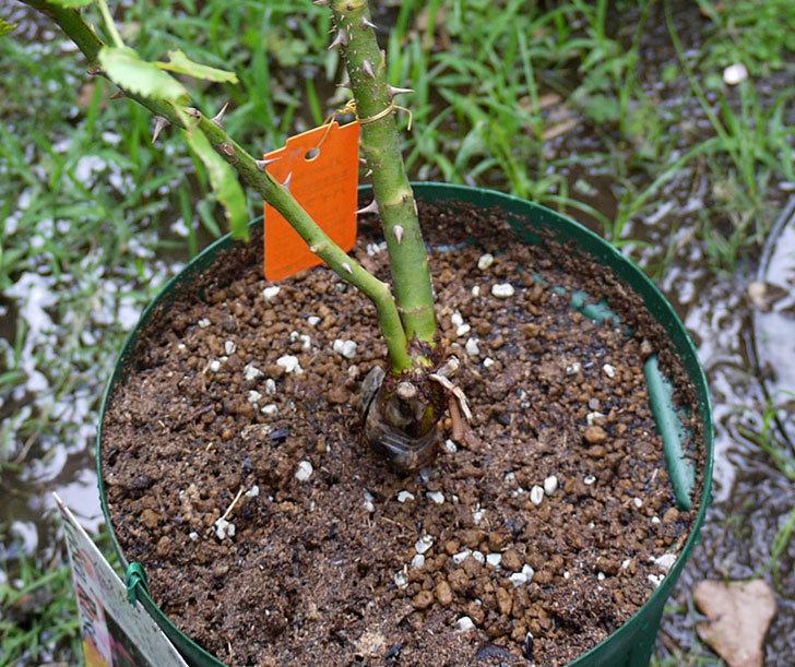 バイランド(木立バラ)の新苗を6号ロングスリット鉢に植えた。2016年-6.jpg