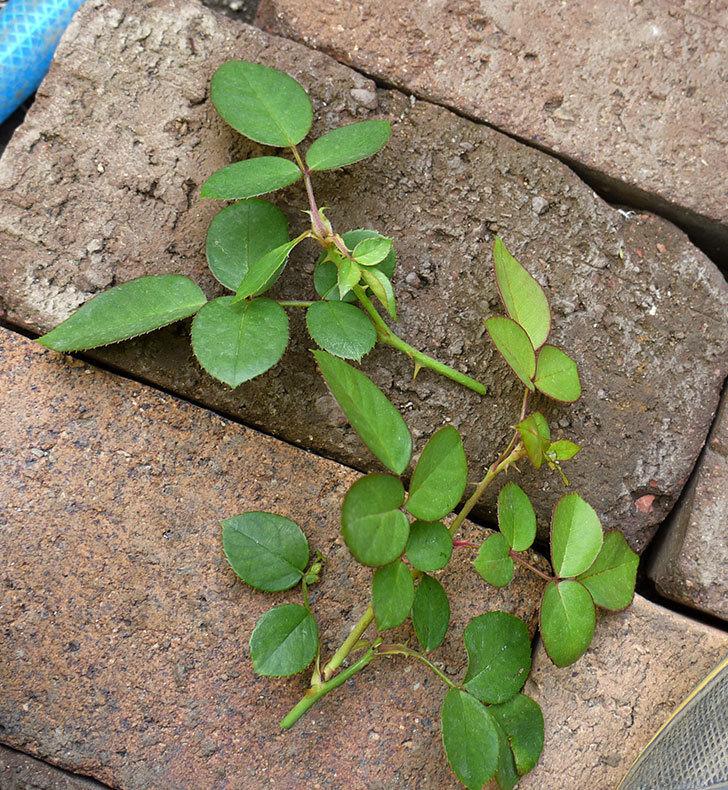 バイランド(木立バラ)の新苗を夏剪定した。2016年-3.jpg