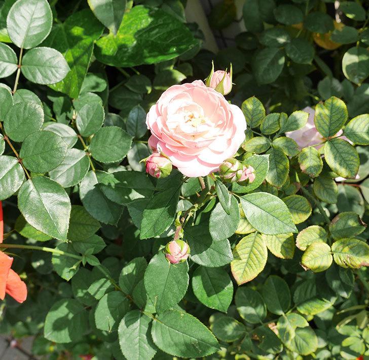 バイランド(木立バラ)の秋花が咲いた。2017年-2.jpg
