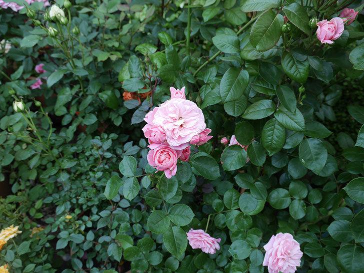 バイランド(木立バラ)の花がたくさん咲いた。2019年-11.jpg