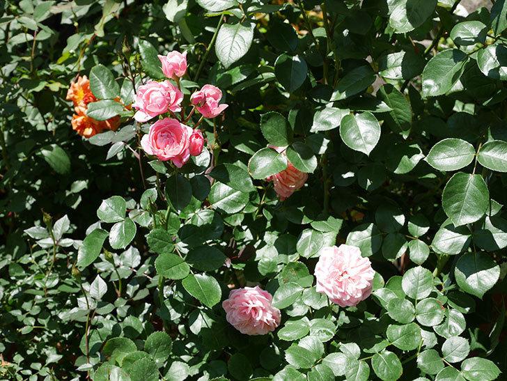 バイランド(木立バラ)の花がたくさん咲いた。2019年-6.jpg