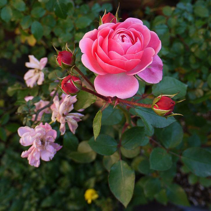 バイランド(木立バラ)の花が咲いた。2016年-2.jpg