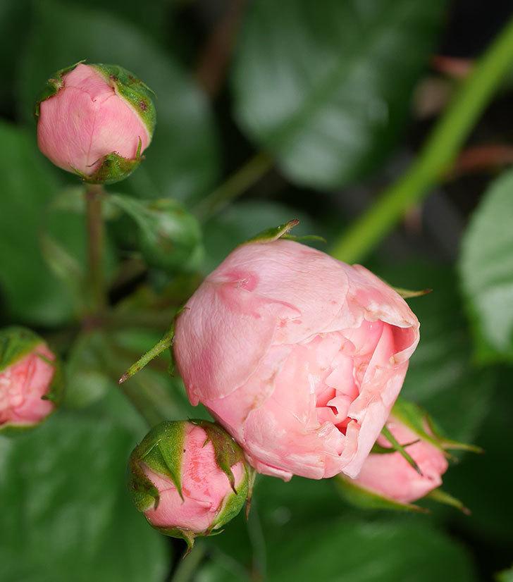 バイランド(木立バラ)の花が咲いた。2018年-4.jpg