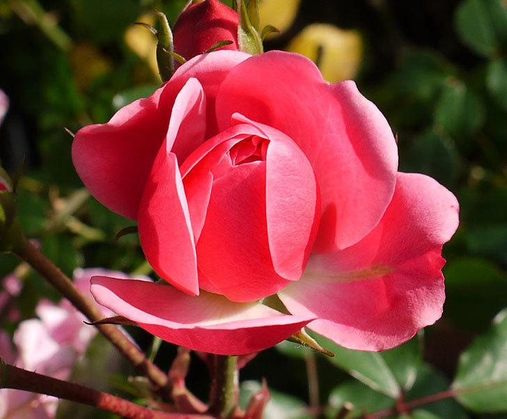 バイランド(木立バラ)の花が咲きだした。2016年-2.jpg