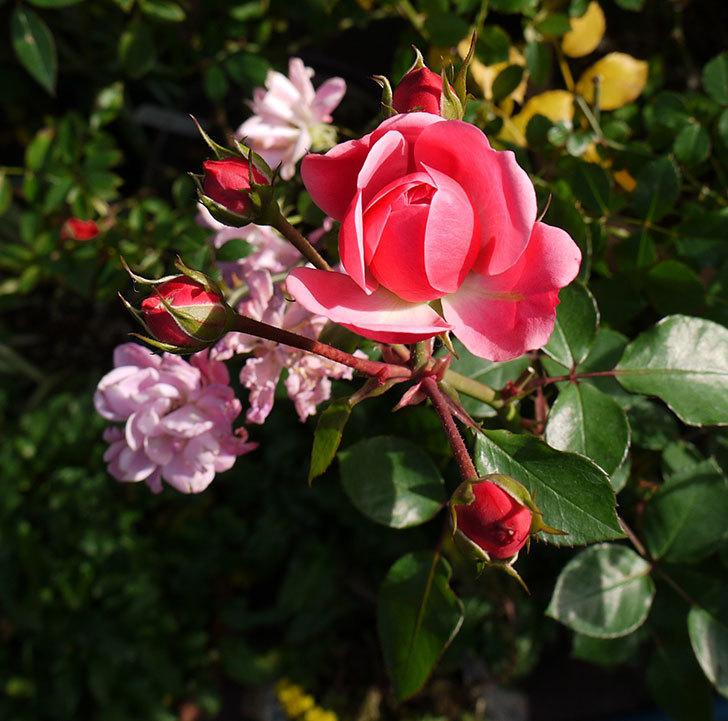 バイランド(木立バラ)の花が咲きだした。2016年-4.jpg