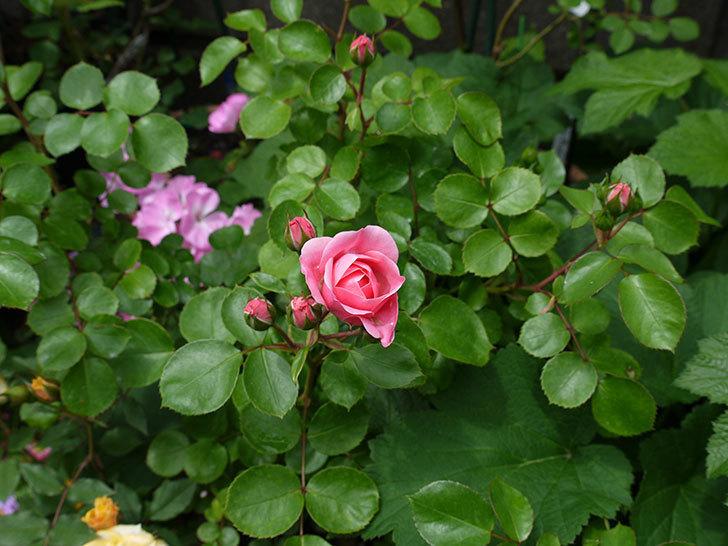 バイランド(木立バラ)の花が咲きだした。2017年-3.jpg