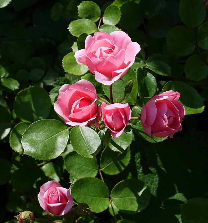 バイランド(木立バラ)の花が増えてきた。2017年-1.jpg
