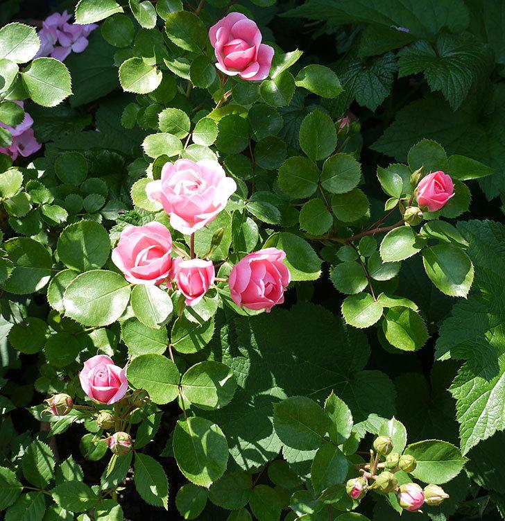 バイランド(木立バラ)の花が増えてきた。2017年-2.jpg