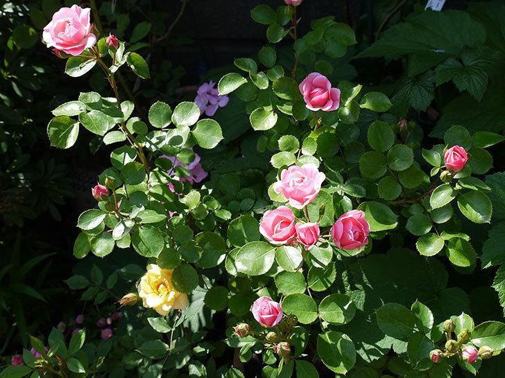 バイランド(木立バラ)の花が増えてきた。2017年-4.jpg