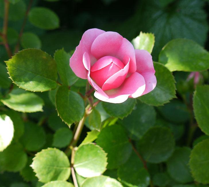 バイランド(木立バラ)の花が増えてきた。2017年-6.jpg