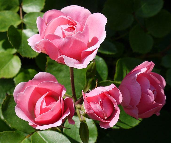 バイランド(木立バラ)の花が増えてきた。2017年-8.jpg