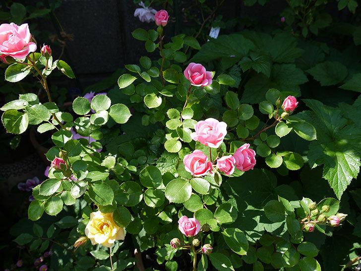 バイランド(木立バラ)の花が増えてきた。2017年-9.jpg
