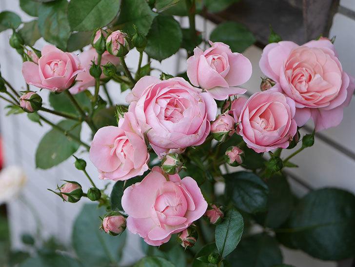 バイランド(木立バラ)の花が増えて来た。2018年-1.jpg