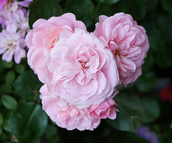 バイランド(木立バラ)の花が増えて来た。2018年-3.jpg