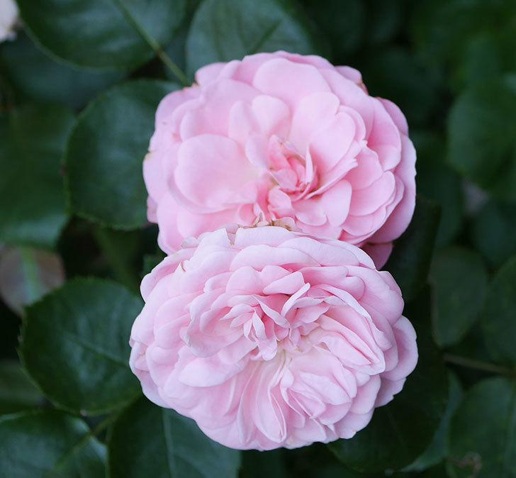 バイランド(木立バラ)の花が増えて来た。2018年-4.jpg