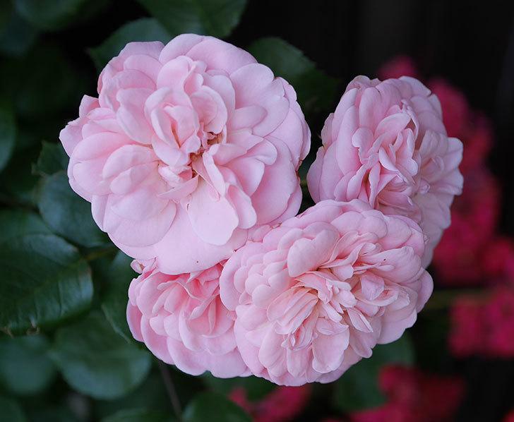 バイランド(木立バラ)の花が増えて来た。2018年-5.jpg