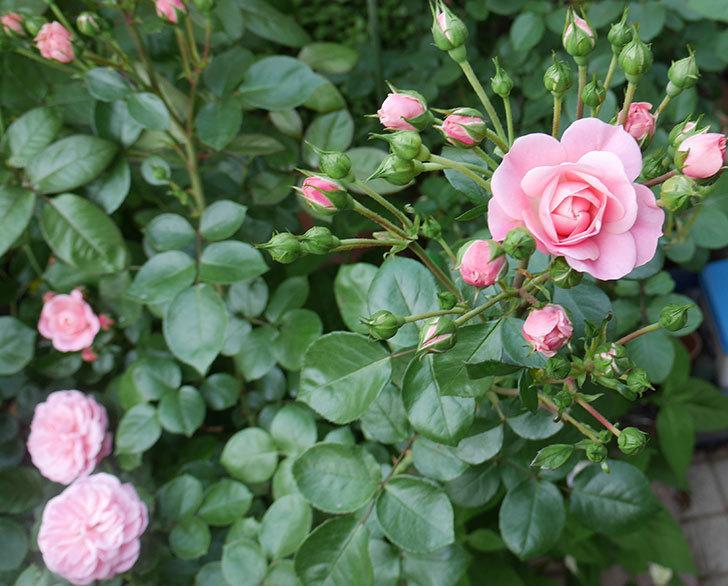 バイランド(木立バラ)の花が増えて来た。2019年-1.jpg