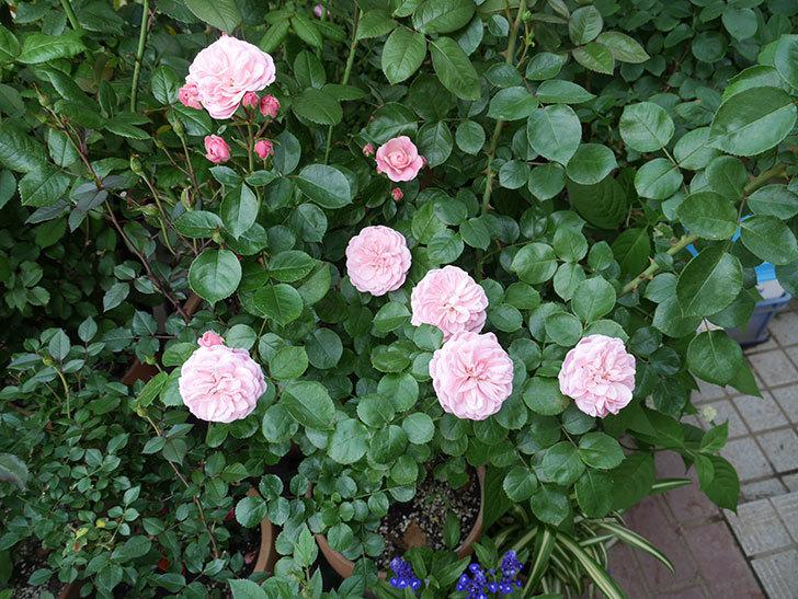 バイランド(木立バラ)の花が増えて来た。2019年-2.jpg