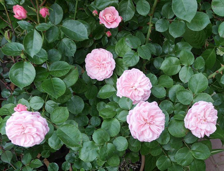 バイランド(木立バラ)の花が増えて来た。2019年-3.jpg