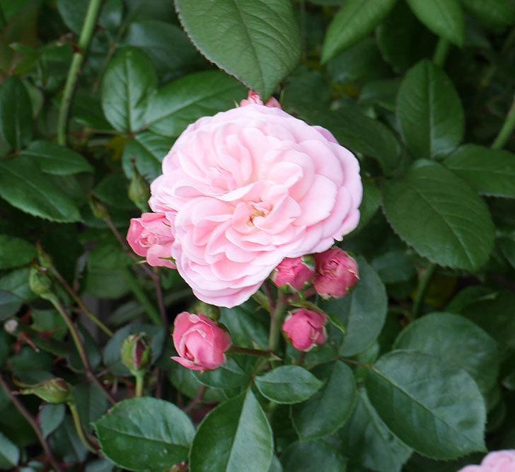 バイランド(木立バラ)の花が増えて来た。2019年-4.jpg