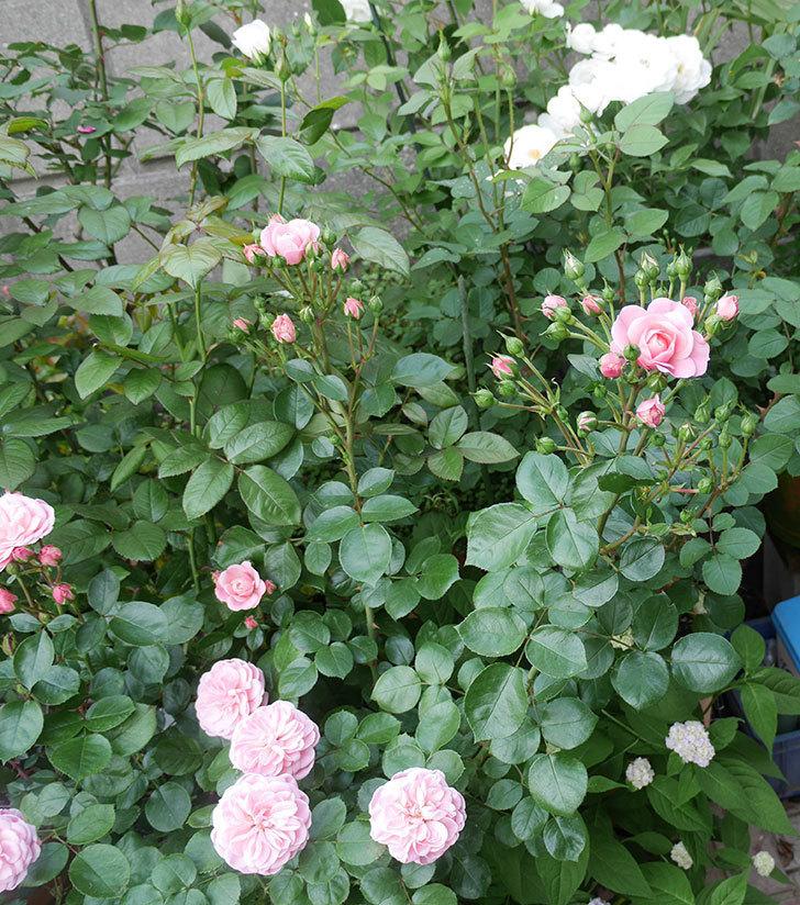 バイランド(木立バラ)の花が増えて来た。2019年-5.jpg