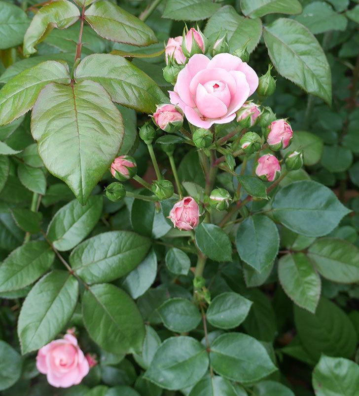 バイランド(木立バラ)の花が増えて来た。2019年-7.jpg