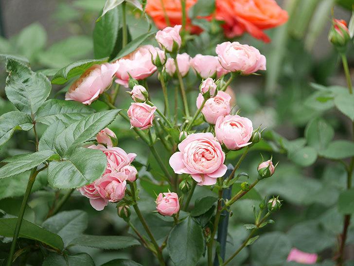 バイランド(木立バラ)の花が房でたくさん咲いた。2019年-5.jpg