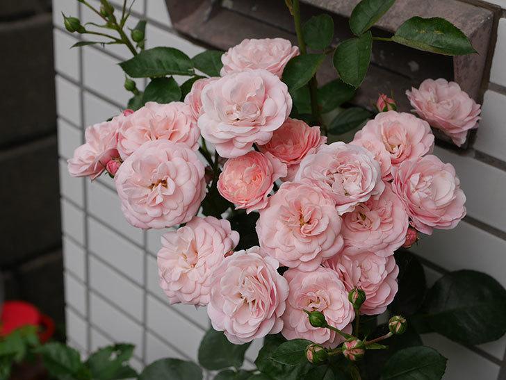 バイランド(木立バラ)の花が房で咲いた。2018年-1.jpg