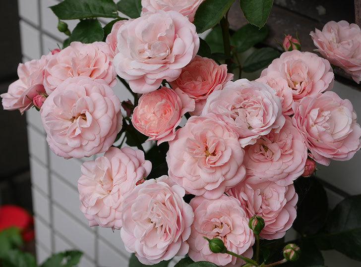 バイランド(木立バラ)の花が房で咲いた。2018年-2.jpg