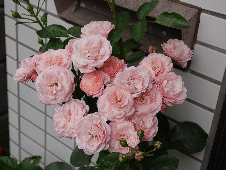 バイランド(木立バラ)の花が房で咲いた。2018年-3.jpg
