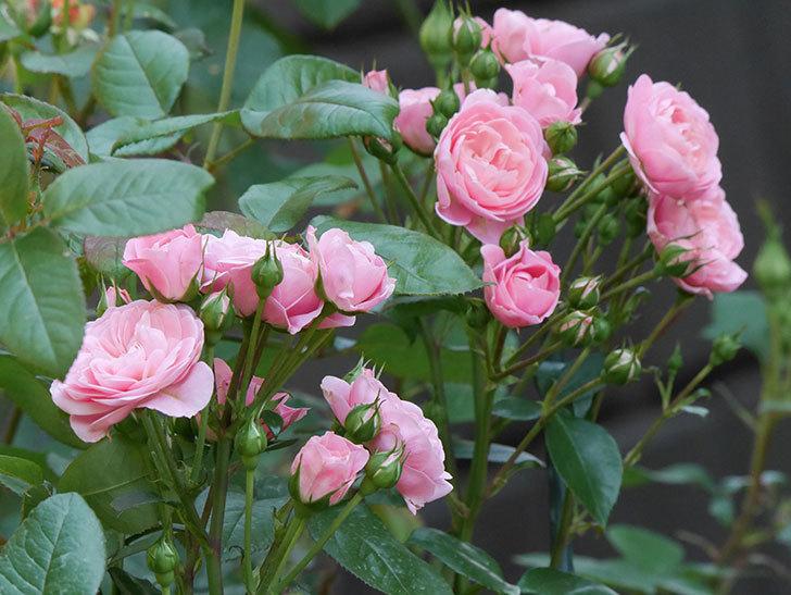 バイランド(木立バラ)の花が房で咲いた。2019年-1.jpg