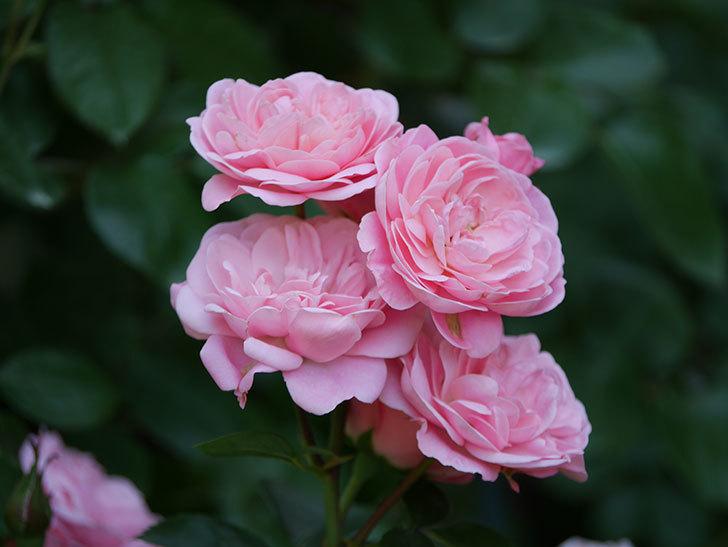 バイランド(木立バラ)の花が房で咲いた。2019年-10.jpg