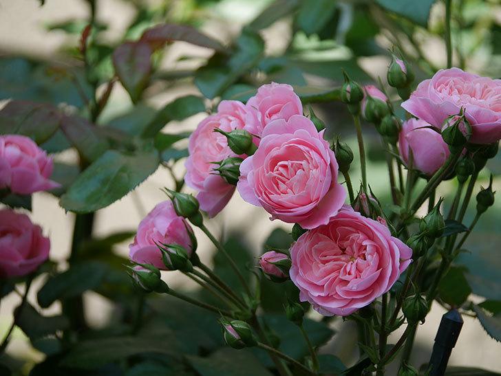 バイランド(木立バラ)の花が房で咲いた。2019年-11.jpg