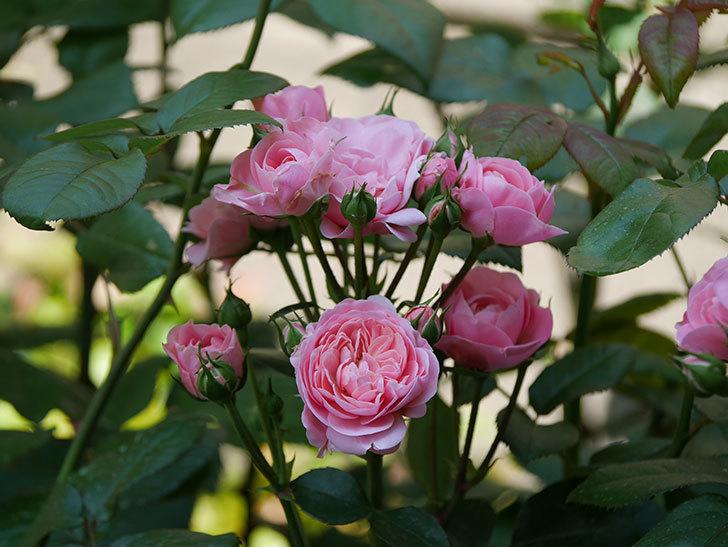 バイランド(木立バラ)の花が房で咲いた。2019年-13.jpg