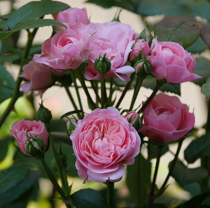 バイランド(木立バラ)の花が房で咲いた。2019年-14.jpg
